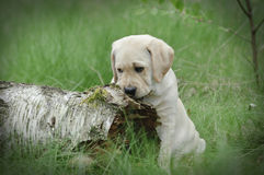 Yellow labrador retriever puppy Stock Photos