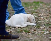 Yellow Labrador Retriever Puppy Laying in the Grass Next to his human. Very cute Yellow Labrador Retriever puppy Resting in the yard after playing Stock Photo