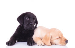 Yellow labrador retriever puppy sleeping next to its brother Royalty Free Stock Image