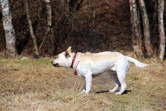 Yellow Labrador Retriever with a red collar shakes off water stock image