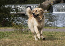 A Yellow Labrador Retriever run Stock Photos