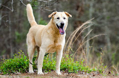 Yellow Labrador Retriever Siberian Husky mixed breed dog. Outdoor humane society adoption photo, pet photography for Walton County Animal Control Shelter stock images