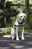 Yellow Labrador Retriever sitting in front of a fence. A yellow labrador retriever wearing a black and red harness is sitting patiently in front of a fence Stock Photo