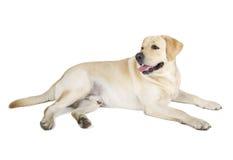Free Yellow Labrador Retriever Smiling Royalty Free Stock Photos - 34824238