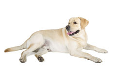 Yellow Labrador Retriever Smiling Royalty Free Stock Photos