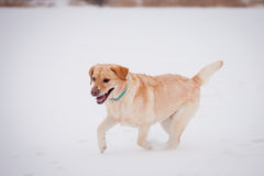 Yellow labrador retriever Royalty Free Stock Photography