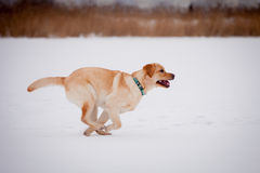 Yellow labrador retriever Stock Image