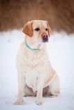 Yellow labrador retriever Royalty Free Stock Image