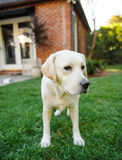 Yellow Labrador Retriever standing in yard. With brick house Royalty Free Stock Photography