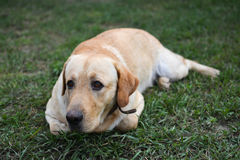 Yellow labrador retriever. Young yellow labrador lying in the grass Royalty Free Stock Images