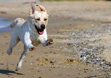 Yellow labrador running to the sea Royalty Free Stock Photo