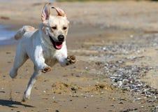 Yellow labrador running to the sea Royalty Free Stock Photo