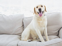 Yellow labrador sitting on the couch Stock Photos