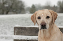 Yellow labrador in the snow Stock Image