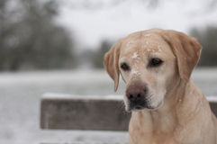 Yellow labrador in the snow Royalty Free Stock Images