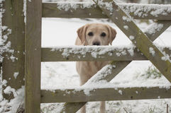Yellow labrador in the snow Royalty Free Stock Image