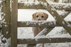 Yellow labrador in the snow Royalty Free Stock Photos