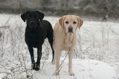 Yellow labrador in the snow Stock Photo