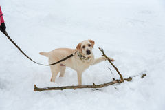 Yellow Labrador in the snow. Stock Images