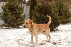 Yellow labrador. On the snow in garden Royalty Free Stock Images