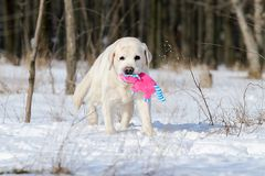 The yellow labrador in winter in snow with a toy Stock Photo