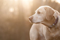Yellow labrador in the sun Royalty Free Stock Photography