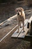 Yellow labrador Royalty Free Stock Photos