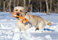 Yellow labrador in winter with an orange toy portrait close up Royalty Free Stock Photography