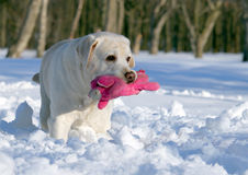 Yellow labrador in winter with a pink toy close Stock Photos