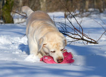 Yellow labrador in winter playing with a pink toy Royalty Free Stock Photo