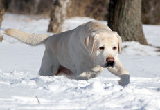 The yellow labrador in winter in snow Royalty Free Stock Images