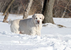 A yellow labrador in winter in snow Stock Photo