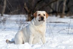 The yellow labrador in winter in snow portrait Stock Photography