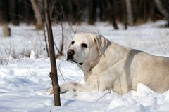 Yellow labrador in winter in snow portrait Royalty Free Stock Image