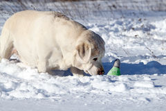 Yellow labrador in winter in snow with a toy Royalty Free Stock Photos