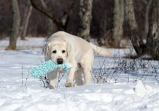 Yellow labrador in winter in snow with a toy Stock Image