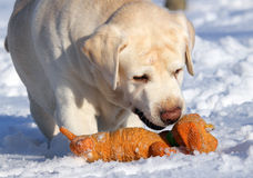 Yellow labrador in winter with a toy close Royalty Free Stock Photo