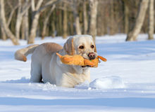Yellow labrador in winter with a toy close up Royalty Free Stock Images