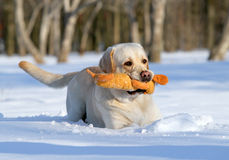 Yellow labrador in winter with a toy close up Royalty Free Stock Image