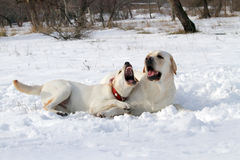 Yellow labradors in winter Stock Photo