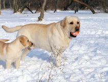 Yellow labradors in winter with a ball Royalty Free Stock Images