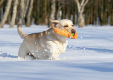 Yellow labradors in winter running with an orange toy Stock Images