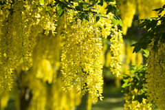 Yellow laburnum Stock Image