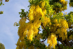 Yellow laburnum and deep blue sky Stock Image