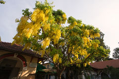 Yellow laburnum and deep blue sky Stock Images