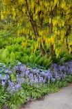 Yellow laburnum tree in spring garden Stock Photography