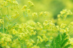 Yellow lady's mantle. Flowers background Stock Images