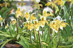 Yellow lady's slipper orchid,groups royalty free stock photos