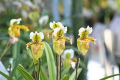 Yellow lady's slipper orchid,groups royalty free stock photography