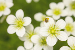 Yellow Lady beetle on the white flower 1 Stock Photography